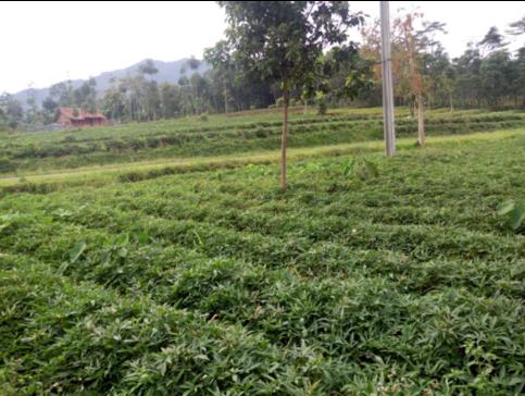 Vietnam Ubi Farm